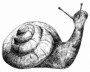 Detailed Snail Pencil Drawing Style Stock Vector ...