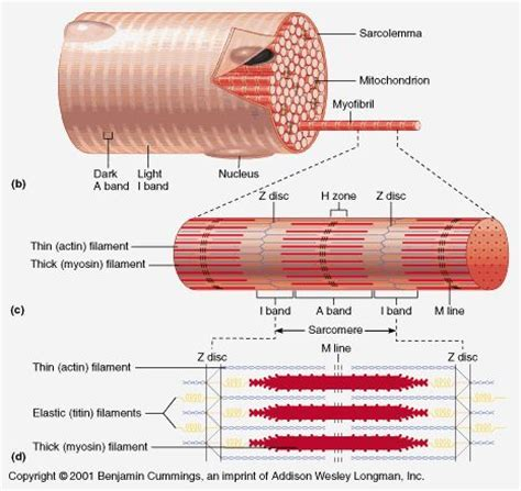 muscle fiber diagram muscle fiber cell myofibril