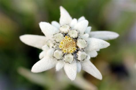 la stella alpina fiore la leggenda della stella alpina bergamo post
