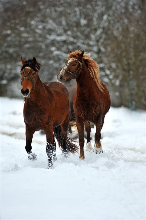 horse horses cold pulling sleigh weather snow health equimed behavior tips keep healthy barn medicine during through matters hour exercise