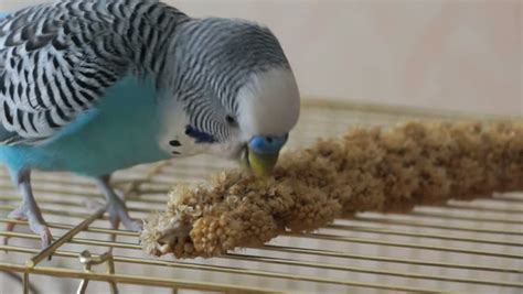 pet blue budgie sits on a cage and eats millet seeds