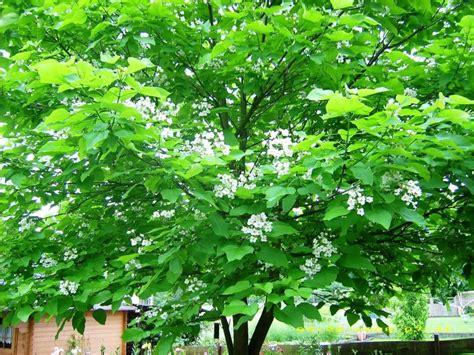 catalpa baum schneiden gold trompetenbaum catalpa bignonioides aurea baumschule horstmann