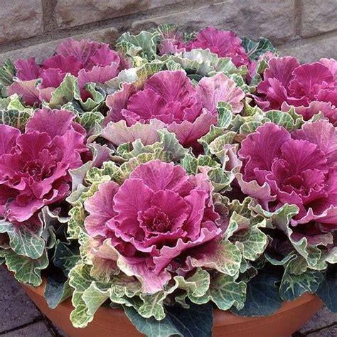 ornamental cabbage perennial ornamental cabbage bloom struck pinterest
