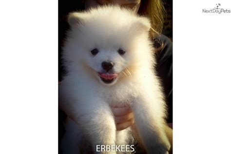 KEESHOND PUPPY FOR SALE NEAR NASHVILLE, TENNESSEE ...