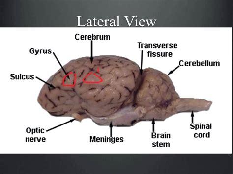 sheep brain anatomy diagram diagram sheep brain superior view diagram