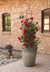 Rosen Für Balkon : das umwelthaus rosensommer auf balkon und terrasse ~ Michelbontemps.com Haus und Dekorationen