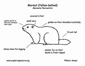 Marmot  Yellow