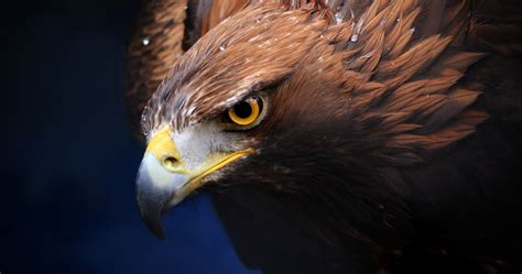 golden eagle  ultra hd wallpaper ololoshenka eagle