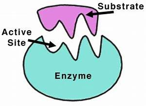 10 Examples of Enzymes| Their List and Interesting Functions