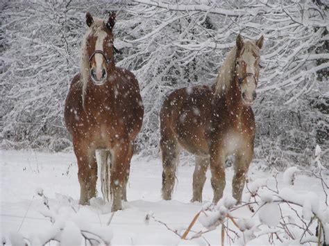 snow horses winter draft animals animal easy brown farm caris roane paleo tigernut granola aip ginger lemon end nature standing