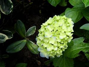 Green Hydrangea Flowers: Why Do Hydrangea Bloom Green