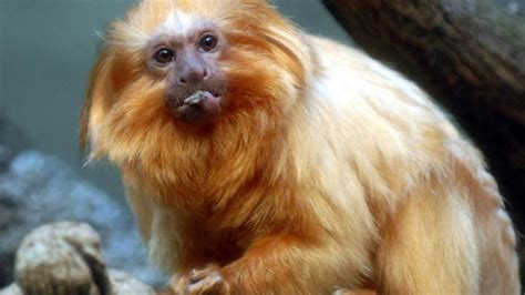 monkey business  rare animals stolen  french zoo news