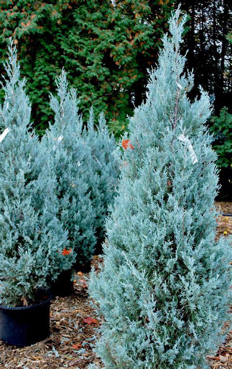 Blue Star Decorations by Juniperus Scopulorum Quot Wichita Blue Quot Genevrier Des