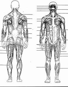 Back Muscle Diagrams