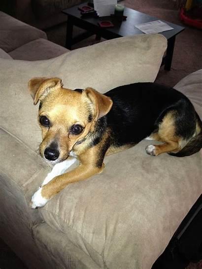Cheagle Dog Breeds Breed Chihuahua Beagle Mix