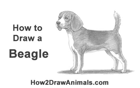 draw  beagle video step  step pictures