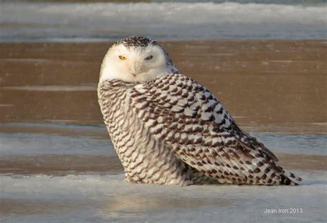 snowy owls in toronto
