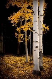 Golden, Aspen, Trees, Fall, Tree, Decor, Colorado, Art, Aspens