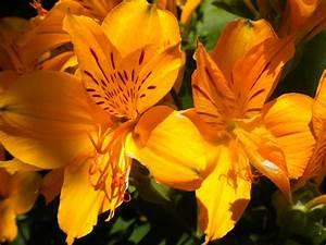 Orange Flower (64 Wallpapers) – HD Desktop Wallpapers