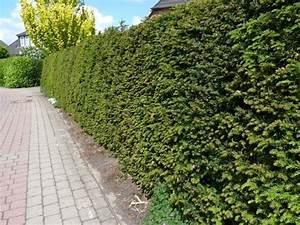 Langsam Wachsende Hecke : eibe taxus baccata 100 120 cm gro im 7 5l topf ~ Orissabook.com Haus und Dekorationen