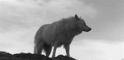 Wolf Howling Gifs