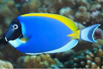 Fish Reef Acanthurus Species Leucosternon Coral Common