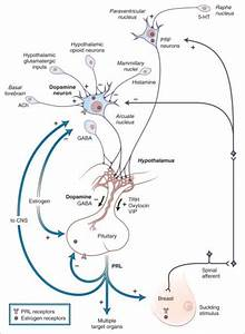 Regulation Of The Hypothalamic