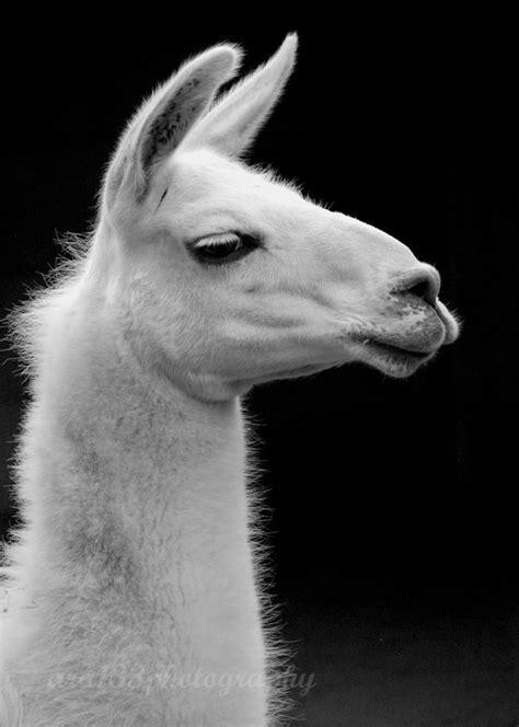 Wonderful Llama Photo by 20 Wonderful Pictures Of Llamas