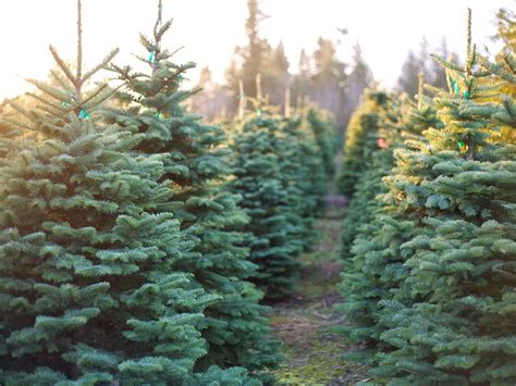 hubbards christmas tree farm 10 tree farms where you can actually get married
