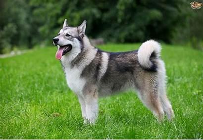 Dog Breeds Oldest Still Existence Malamute Alaskan