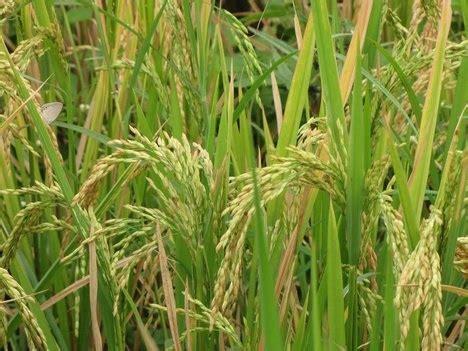 kharif crops production decline    sugarcane