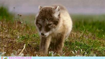 Wolf Gifs Animal Wolves Dogs Games
