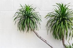 Drachenbaum Schneiden Video : drachenbaum pflege schneiden arten drachenbaum ~ Watch28wear.com Haus und Dekorationen