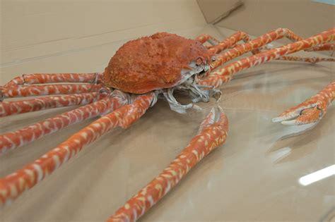 araign馥 dans la chambre crabe araignée du japon musée des confluences