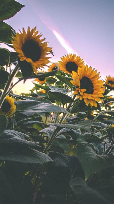 super pretty sunflower iphone wallpapers preppy