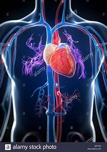 3d Rendered Illustration Of The Human Heart Stock Photo