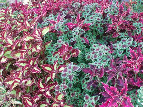 coleus cultivars 3 coleus varieties flickr photo sharing