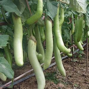 Louisiana Long Green Eggplant | Vegetable Plants ...