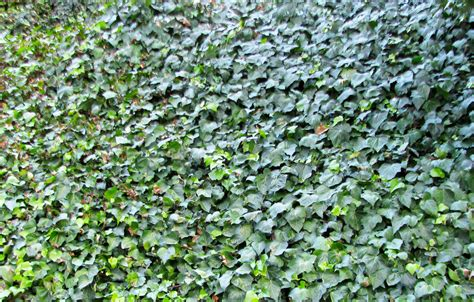 ground covering ground cover ivy northwest lawn and landscape toledo ohio