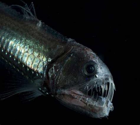 viperfish wild life animal