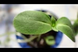 Ficus Benjamini Gelbe Blätter : video unterschied einkeimbl ttrige und zweikeimbl ttrige pflanzen so beschreiben sie ihn ~ Watch28wear.com Haus und Dekorationen