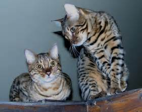 bengal cat images file two bengal cats edit jpg wikimedia commons
