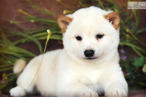 meet male  cute shiba inu puppy  sale