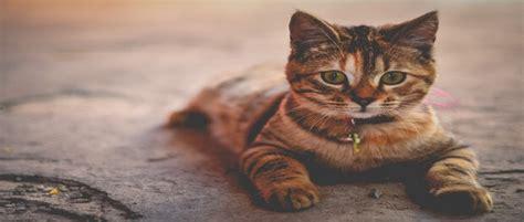 สายพันธุ์แมวขนสั้น ที่นิยมเลี้ยง | รวมพันธ์แมวน่ารักๆ