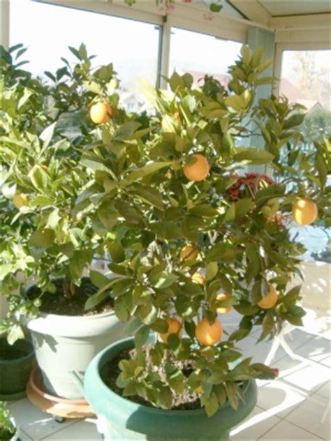 entretien agrumes en pot le midi libre magazine cultiver un citronnier en pot