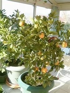 Tailler Un Citronnier : maladie du citronnier maladie du citronnier ~ Melissatoandfro.com Idées de Décoration