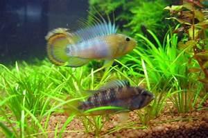 Apistogramma baenschi 'Inka' - AquaticQuotient.com Photo ...