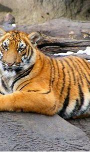 Cincinnati zoo tiger | Cincinnati zoo, Animal kingdom, Zoo