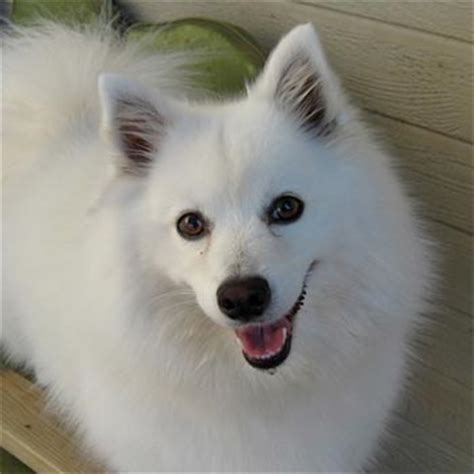 american eskimo dog breed pictures images and information
