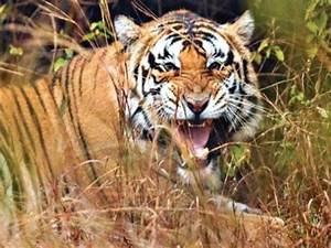 MP: 24-year-old man killed by tiger in Umaria | bhopal ...